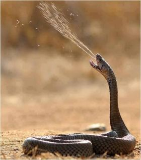 870ae524b1229d42316236ad6d8c9486-snake-venom-perfectly-timed-photos